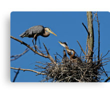 Great Blue Heron with Babies - Ottawa, Ontario Canvas Print