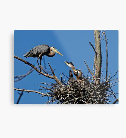 Great Blue Heron with Babies - Ottawa, Ontario Metal Print