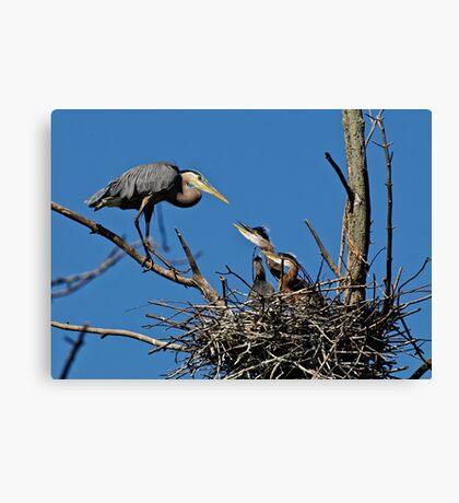 Great Blue Heron with Babies - Ottawa, Ontario Canvas Print