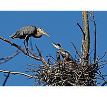 Great Blue Heron with Babies - Ottawa, Ontario Photographic Print