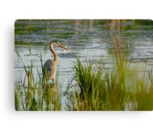 Great Blue Heron - Ottawa, Ontario Canvas Print