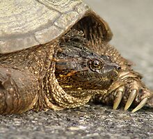 Snapper by Judy Olson