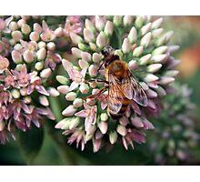 Honeybee Closeup Photographic Print