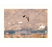 Northern Shoveler - Flight Art Print