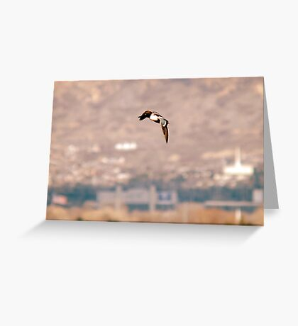 Northern Shoveler - Flight Greeting Card
