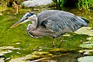 Blue Heron by Michael Cummings