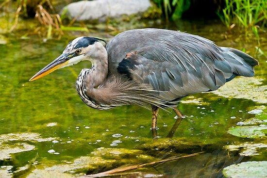 Blue Heron by Michael Cummings