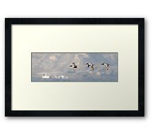 Northern Shoveler - Flight Sequence Framed Print