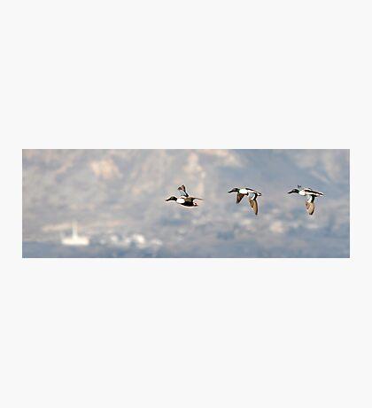 Northern Shoveler - Flight Sequence Photographic Print