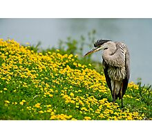 Blue Heron Photographic Print