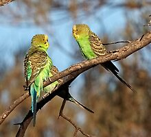 Wild and Free ~ Budgerigars by Robert Elliott