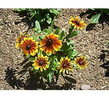 Gloriosa Daisy - Black Eyed Susan Flowers Photographic Print