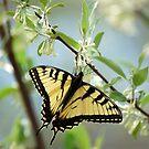 Swallowtail by Anne Smyth