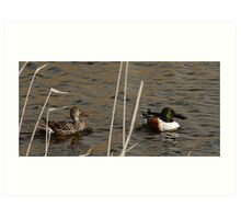 Northern Shoveler - Swimming Art Print