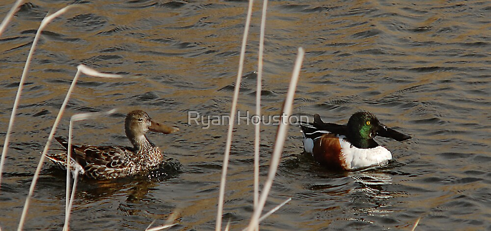 Northern Shoveler - Swimming by Ryan Houston