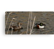 Northern Shoveler - Swimming Canvas Print