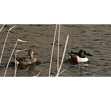 Northern Shoveler - Swimming Photographic Print