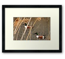 Male Northern Shovelers Framed Print