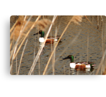 Male Northern Shovelers Canvas Print