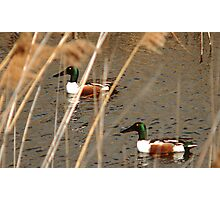 Male Northern Shovelers Photographic Print