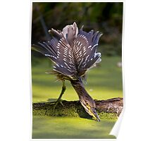 Juvenile Black Crowned Night Heron - Mudd Lake Ottawa Poster