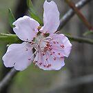 cherry blossom by budrfli