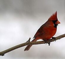 Red Cardinal~Ohio State Bird by Gaby Swanson