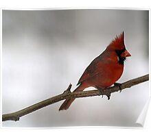 Red Cardinal~Ohio State Bird Poster