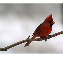 Red Cardinal~Ohio State Bird Photographic Print