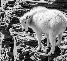 Mountain Goat Kid by Jim Stiles