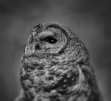 Portrait of a Spotted Owl by Deri Dority