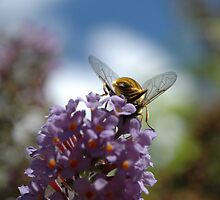 Honey Bee on a Buddleia by bubblebat
