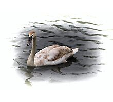 brown feathers swan Photographic Print