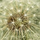 Dandelion seeds by gordy