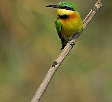 Little Bee-eater by Peter Bland