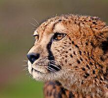 Cheetah by Peter Bland