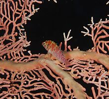 Hawkfish on Seafan by Trenemene
