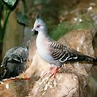 Australian Crested Pigeons by AnnDixon
