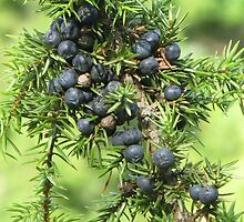 JUNIPER BERRIES. by JurmaleP