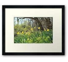 Daffodils on a sunny spring day Framed Print