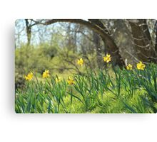 Daffodils on a sunny spring day Canvas Print