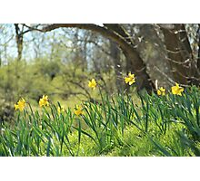 Daffodils on a sunny spring day Photographic Print