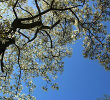 Blossoming white magnolia tree against blue sky in spring by KerstinB