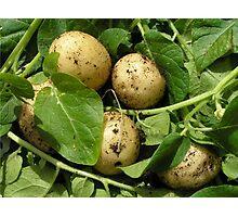 New potatoes in sunlight. Photographic Print
