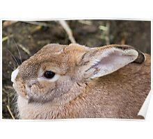 122014 cottontail Poster