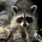 Baby Racoon    190 Views by Rosalie Scanlon