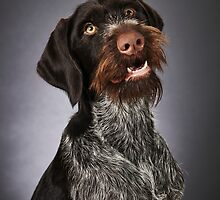 German wire-haired pointer by JH-Image