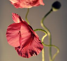 Pink poppies composition by JBlaminsky