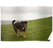 Dolly - German Shepherd / Rottweiler Poster