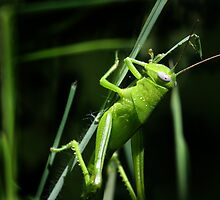 Grass hopper by teegs
